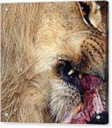 Lion Feeding Acrylic Print
