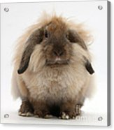 Lionhead-lop Rabbit Acrylic Print