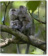 Long-tailed Macaque Macaca Fascicularis Acrylic Print by Cyril Ruoso