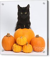 Maine Coon Kitten And Pumpkins Acrylic Print