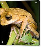 Marsupial Frog Acrylic Print