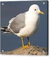 Mew Gull Acrylic Print