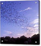 Mexican Freetail Bats Acrylic Print