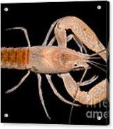 Miami Cave Crayfish Acrylic Print