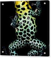 Mimic Poison Frog Acrylic Print