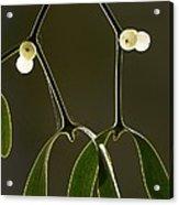 Mistletoe (viscum Album) Acrylic Print