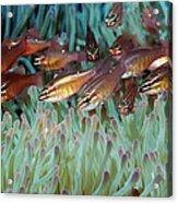 Moluccan Cardinalfish Acrylic Print
