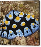 Nudibranch Feeding On Algae, Papua New Acrylic Print