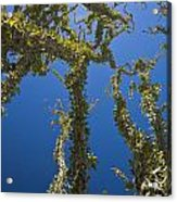 Ocotillo Fouquieria Splendens Acrylic Print