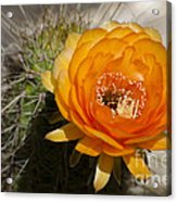 Orange Cactus Flower Acrylic Print