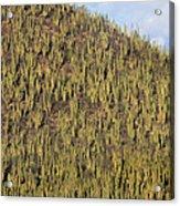 Organ Pipe Cactus Stenocereus Thurberi Acrylic Print