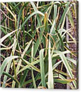 Organic Serpent Garlic Acrylic Print