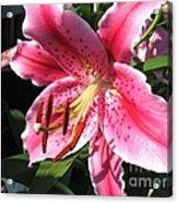 Oriental Lily Named Tiber Acrylic Print