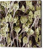 Penicillium Fungus, Sem Acrylic Print