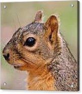 Pine Squirrel Acrylic Print