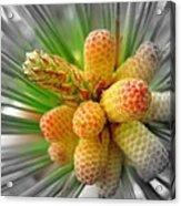 Pinecones Acrylic Print