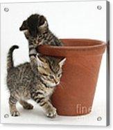 Playful Kittens Acrylic Print