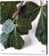 Poison Oak Branch Acrylic Print
