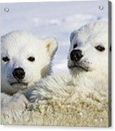 Polar Bear Ursus Maritimus Three Acrylic Print