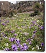 Poppy Anemone Flowers (anemone Coronaria) Acrylic Print