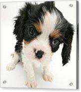Puppy Acrylic Print by Jane Burton