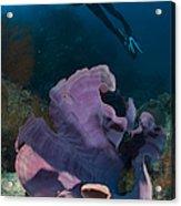 Purple Elephant Ear Sponge With Diver Acrylic Print