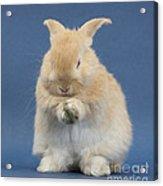 Rabbit Grooming Acrylic Print