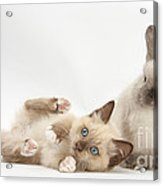 Ragdoll-cross Kitten And Young Acrylic Print