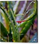 Raindrop On Aloe Vera Leaf Acrylic Print