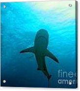 Reef Shark Acrylic Print