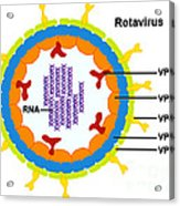 Rotavirus Acrylic Print by Science Source