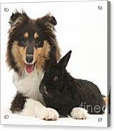 Rough Collie With Black Rabbit Acrylic Print