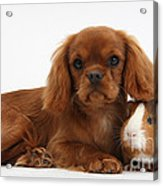Ruby Cavalier King Charles Spaniel Pup Acrylic Print
