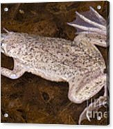 Sabana Surinam Toad Acrylic Print