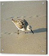Sandpiper Hunting On Assateague Island Maryland Acrylic Print