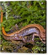 Seepage Salamander Acrylic Print