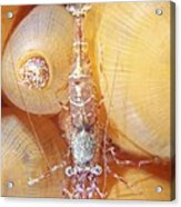 Shrimp Acrylic Print