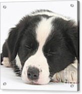Sleepy Puppy Acrylic Print