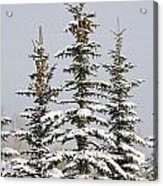 Snow Covered Evergreen Trees Calgary Acrylic Print