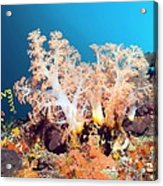 Soft Coral On A Reef Acrylic Print