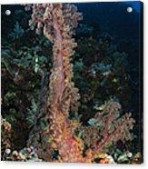 Soft Coral Seascape, Indonesia Acrylic Print