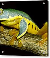 Splendid Leaf Frog Acrylic Print