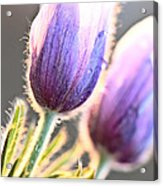 Spring Time Crocus Flower Acrylic Print