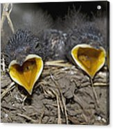 Swallow Chicks Acrylic Print