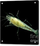 Taiji Cave Shrimp Acrylic Print