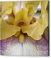 Tall Bearded Iris Named Butterfingers Acrylic Print