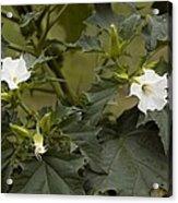 Thorn Apple (datura Stramonium) Acrylic Print