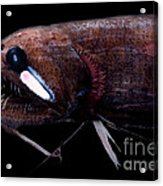 Threadfin Dragonfish Acrylic Print