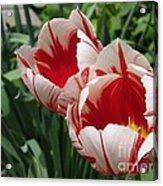 Triumph Tulip Named Carnaval De Rio Acrylic Print