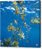 Tropical Seaweed Acrylic Print